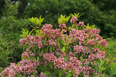 Montagna Laurel Shrub in fioritura Fotografie Stock Libere da Diritti