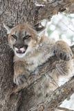 Montagna Lion Glaring da un pino Fotografie Stock Libere da Diritti
