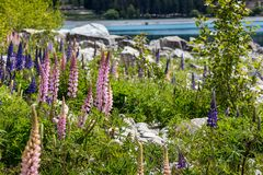Montagna maestosa con i llupins che fioriscono, lago Tekapo, Nuova Zelanda Fotografia Stock
