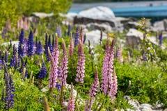 Montagna maestosa con i llupins che fioriscono, lago Tekapo, Nuova Zelanda Fotografie Stock