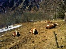Montagna, mucche e neve immagini stock