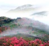 Montagna nebbiosa della sorgente con il azelea Immagine Stock