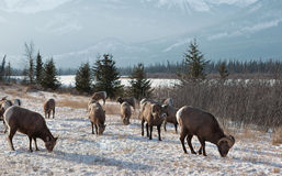 Montagna Ram Pack Grazing Fotografia Stock Libera da Diritti