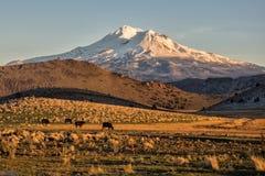 Montagna ricoperta neve con il bestiame nel campo Fotografia Stock Libera da Diritti