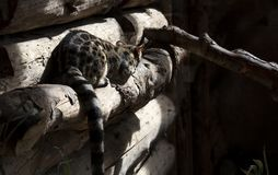 Montagna selvaggia felina fotografie stock libere da diritti