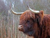 Montagnard écossais Photo libre de droits