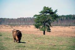 Montagnard écossais Photos stock