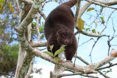 Montagne arborescente Cuscus image libre de droits