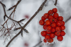 Montagne Ash Berry Clump avec Frosty Angled Branch photographie stock