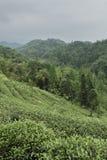 Montagne avec des arbres de thé Photographie stock libre de droits