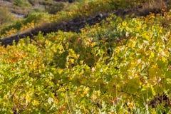 Montagne Cipro di Troodos di autunno del harverst di agricoltura della vigna della foresta della cantina Fotografia Stock