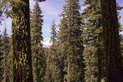 Montagne d'arbres de pin Photos libres de droits