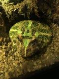 Montagne de grenouille Photographie stock libre de droits