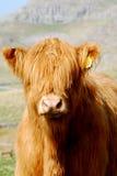 montagne de vache Images stock