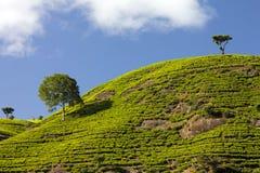 Montagne del giardino di tè della Sri Lanka Immagini Stock