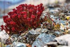 Montagne del roseroot di rhodiola rosea dei fiori Immagini Stock