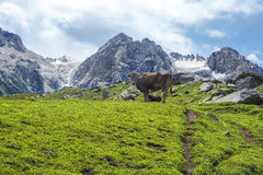 Montagne della mucca Immagine Stock Libera da Diritti