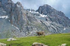 Montagne della mucca Immagini Stock Libere da Diritti