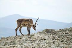 Montagne della renna Immagini Stock