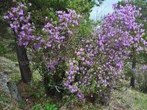 Montagne delle montagne di Altai fioritura Fotografia Stock Libera da Diritti