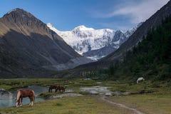 Montagne di Altai, i cavalli che pascono nella valle del fiume Akemi Fotografie Stock