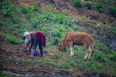 Montagne di vietnamita dell'agricoltore e della mucca Immagini Stock