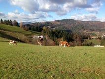 Montagne e mucche fotografia stock libera da diritti