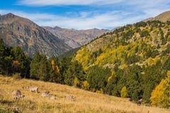 Montagne e valle di autunno di Pirenei con le mucche Fotografie Stock