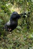Montagne Gorilla Standing Upright images libres de droits
