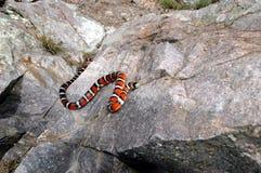 Montagne Kingsnake de Sonora Image stock