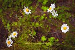 Montagne l'Altay les marguerites sur un champ vert, montagne Albelye fleurit sur l'herbe verte Image libre de droits