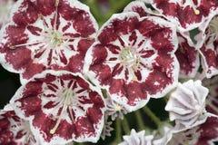 Montagne Laurel Flowers Minuet Macro Photographie stock libre de droits