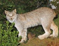 Montagne Lynx avec le regard du défi dans les bois Images stock