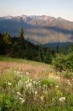 Montagne olimpiche Hurrican del prato leggero del Wildflower di primo mattino fotografia stock