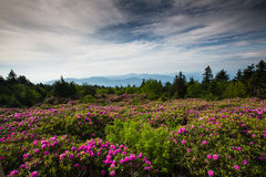 Montagne Roan Tennessee de ciel de rhododendron Photos libres de droits