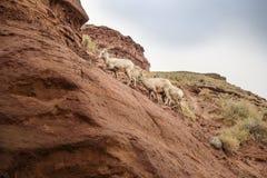 Montagne s'élevante de famille de chèvre de montagne en Idaho Images stock