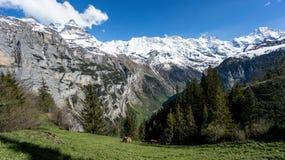 Montagne svizzere sceniche delle alpi con le mucche e le nuvole Immagini Stock Libere da Diritti