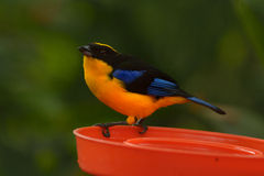 Montagne-Tanager Bleu-à ailes Photos stock