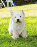 Montagne Terrier blanc occidentale Photographie stock