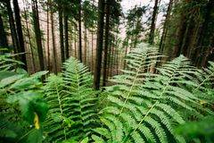 Montagne verdi selvagge Forest In Polan di Fern Leaves Plants In Tatra fotografia stock libera da diritti