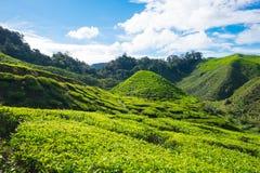 Montagne verte de pente des plantations de thé avec le ciel bleu en Cameron Photos stock