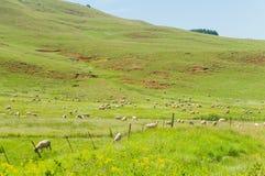 Montagnes d'élevage des moutons Photos stock