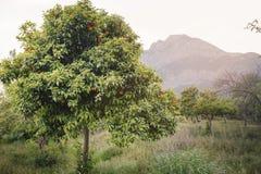 Montagnes d'arbre de mandarine à l'arrière-plan Images libres de droits