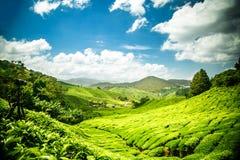Montagnes de Cameron de plantation de thé photographie stock