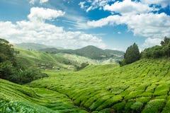 Montagnes de Cameron de plantation de thé image stock