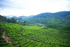 Montagnes de Cameron de plantation de thé Images stock