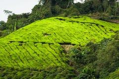 Montagnes de Cameron de plantation de thé, Malaisie Image libre de droits