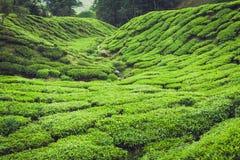 Montagnes de Cameron de plantation de thé, Malaisie Image stock