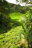 Montagnes de Cameron de plantation de thé, Malaisie Photos libres de droits