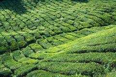 Montagnes de Cameron de plantation de thé, Malaisie Images libres de droits